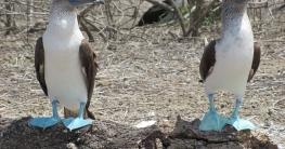 warum hat der blaufußtölpel blaue füße