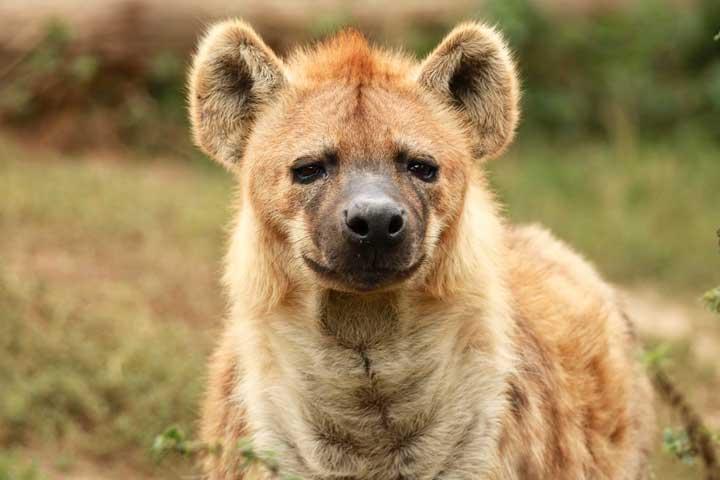 hyäne pseudopenis