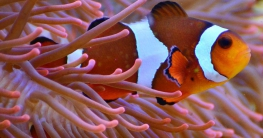 geschlechtsumwandlung clownfisch