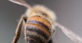 varroamilbe bienensterben