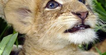könig der löwen neuverfilmung