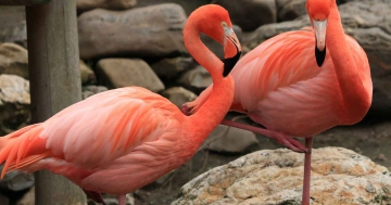 warum stehen flamingos auf einem bein stehen