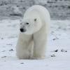 wie schützen sich eisbären vor kälte