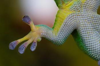 gecko fuß decke laufen