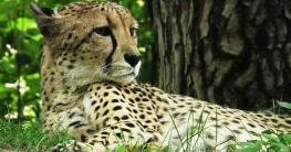warum ist der gepard vom aussterben bedroht grund