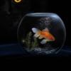 wie groß ist die gedächtnis-spanne bei einem goldfisch