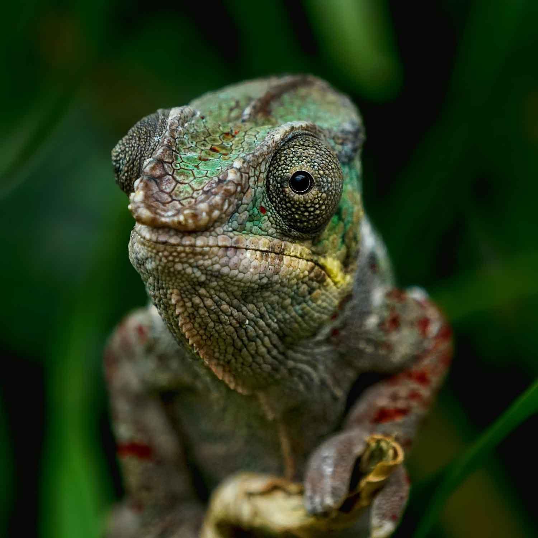 wie und warum wechselt das chamäleon seine farbe