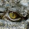 Was sind Krokodilstränen: Wortherkunft und Bedeutung
