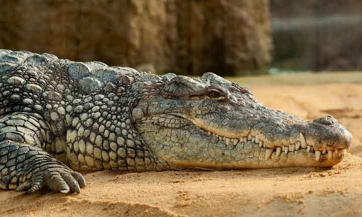unterschied krokodil alligator gebiss