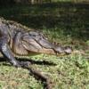 was ist der unterschied zwischen alligator und krokodil