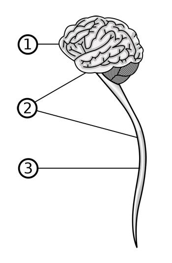 zentrales nervensystem aufbau und funktionen