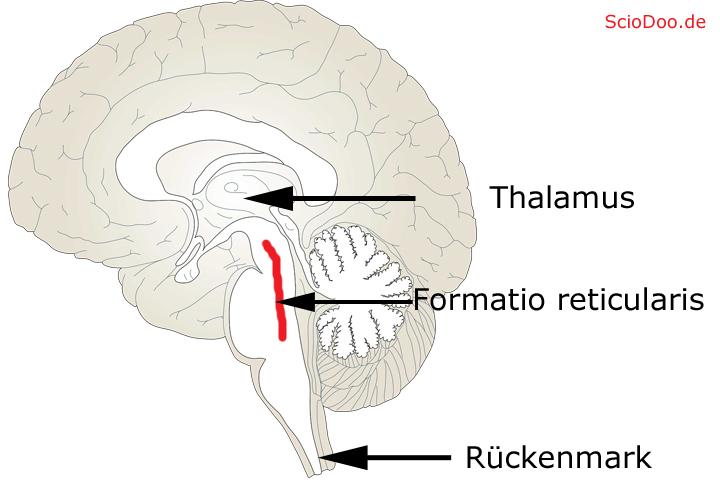 formatio reticularis
