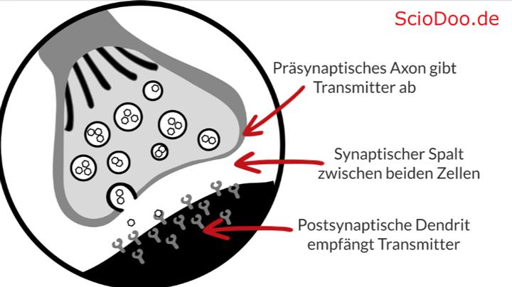 neurotransmitter synapse