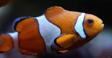 clownfisch haltung pflege