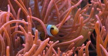 warum können clownfisch in der anemone leben symbiose lebensraum