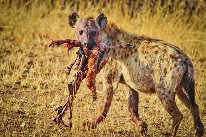 hyäne systematik zuordnung