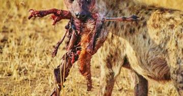 hyänen systematik