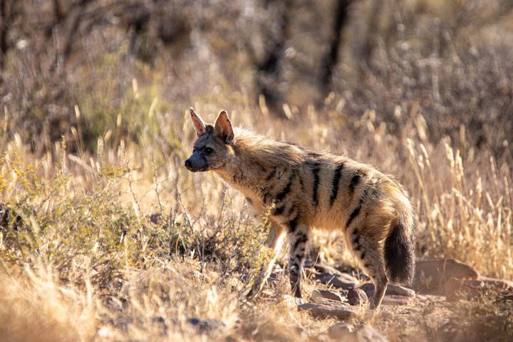 erdwolf kleinste hyänenart