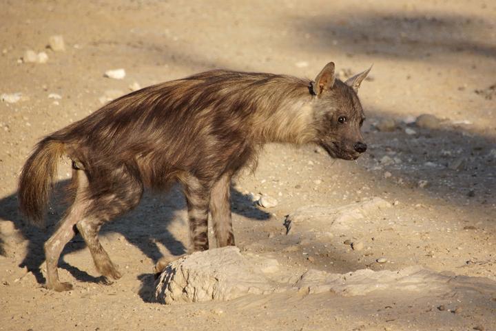 schabrackenhyäne braune hyäne hyänenart