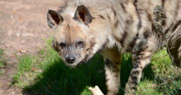 streifenhyäne verbreiteste hyänenart